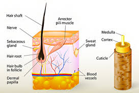 Hair structure | Mololo cosmetics