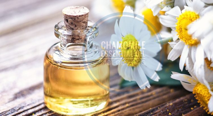 Chamomile Essential Oil uses | mololo.org