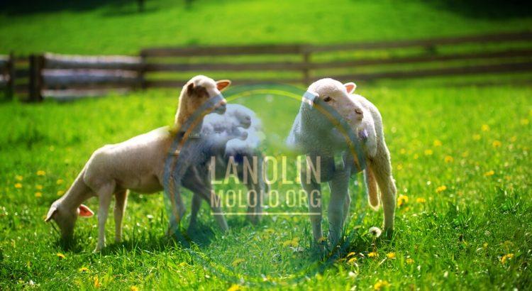 lanolin | mololo.org